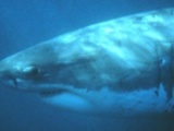 Extinction of South Africa's great white sharks imminent